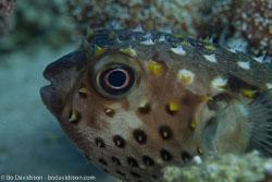 BD-121129-Aqaba-7682-Cyclichthys-spilostylus-(Leis---Randall.-1982)-[Spotbase-burrfish].jpg